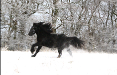 black pony galloping in the snow