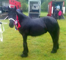 Wellbrow Edwin at Todmorden Show