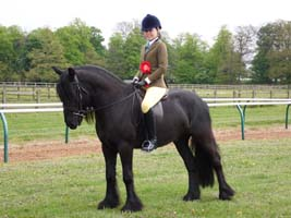 Fell pony Heltondale Royal III