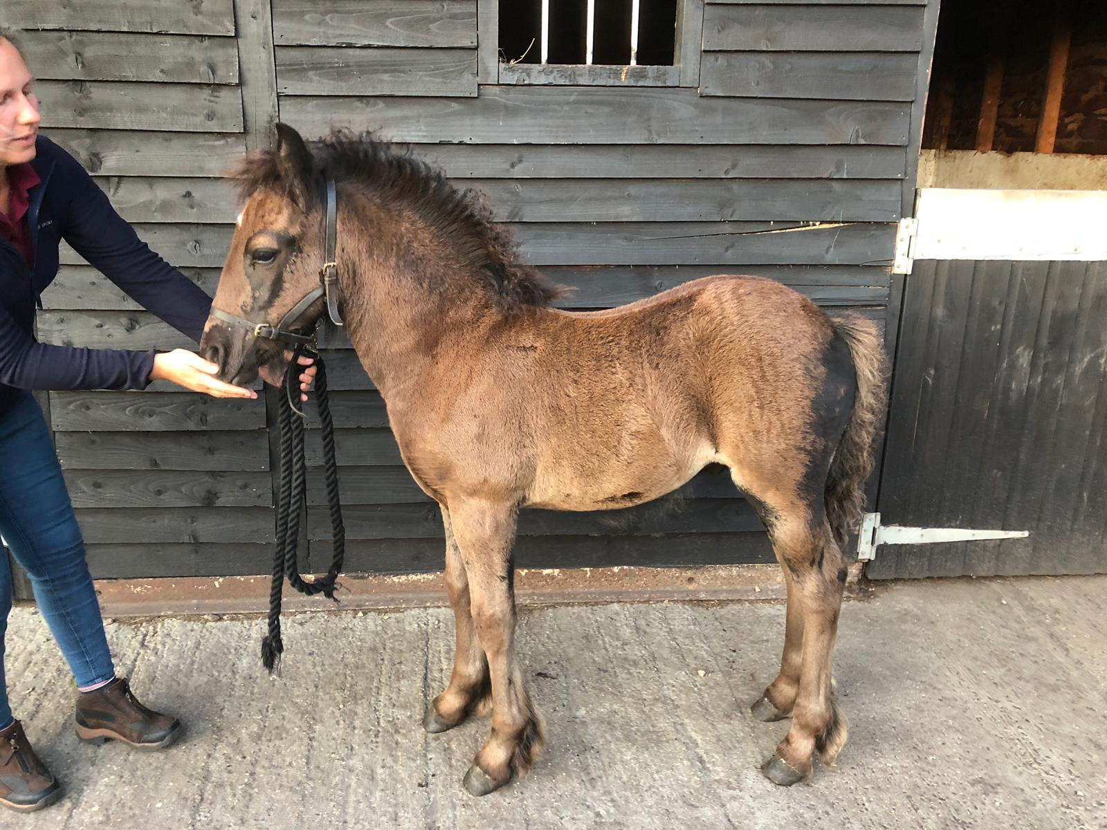 black Fell pony colt foal for sale