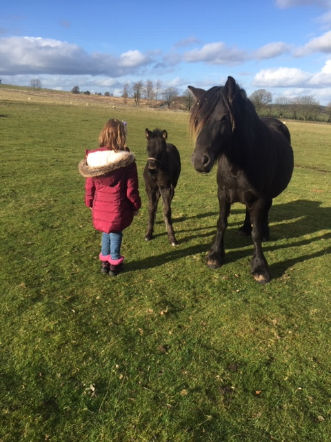 brown fell pony mare for sale