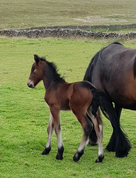 bay fell pony foal and its dam in a field