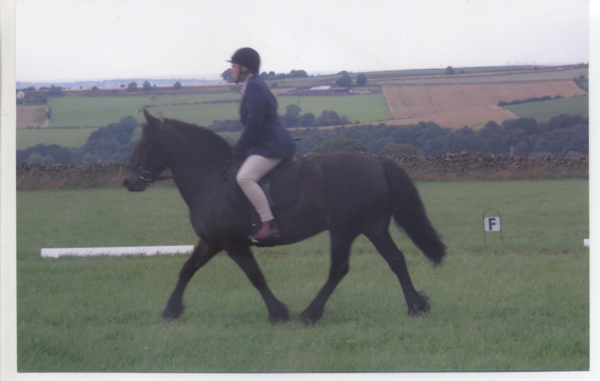 fell pony gelding for sale