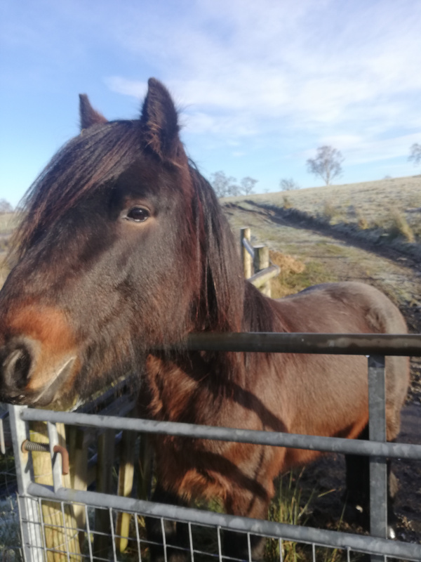 bay fell pony stallion for sale