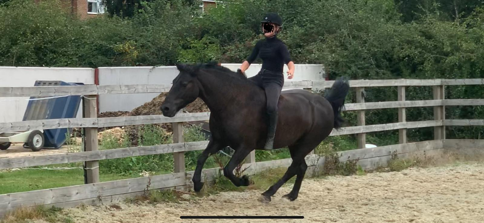 black fell pony gelding for sale