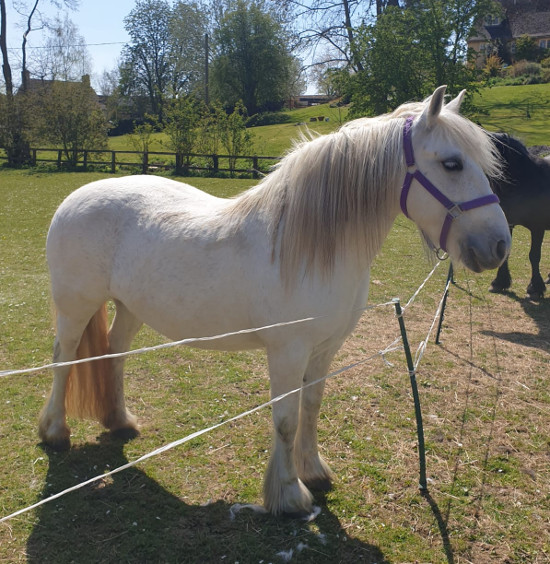 grey fell pony mare for sale
