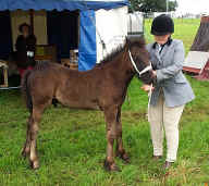 Fell pony foal at a show