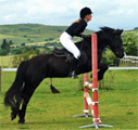 Brown Fell pony jumping